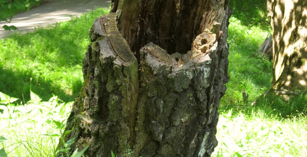 Old rotting stump in the green forest