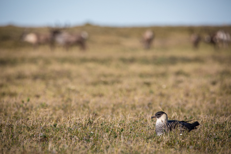 A Pomerine Jaeger sits on the tundra in front of a small herd of caribou. This was one of the two that landed near us on the Aichilik River in June 2015.
