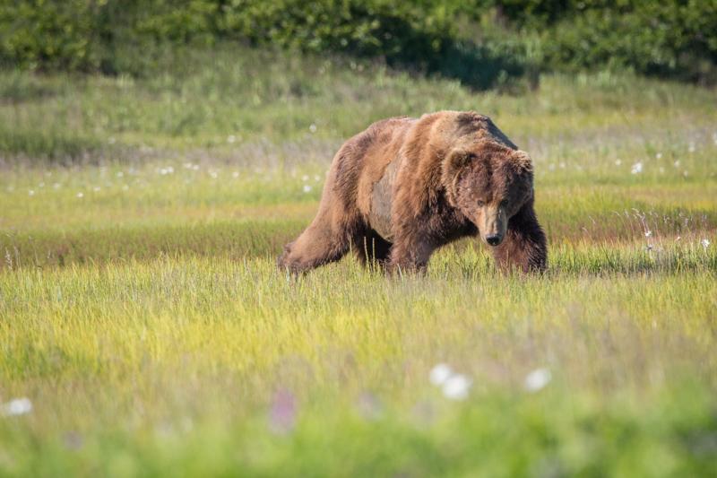 A male Brown Bear grazing sedges in Katmai National Park.
