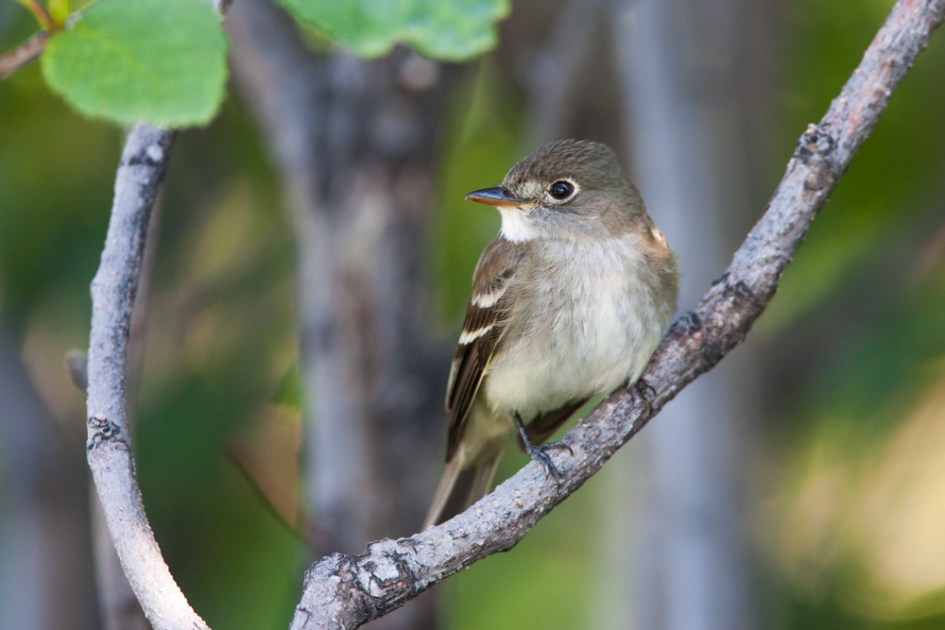 I photographed this Alder Flycatcher as it moved with an early-season mixed flock in July, a couple of years back.