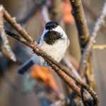 Mixed Species Flocks in the Boreal Forest