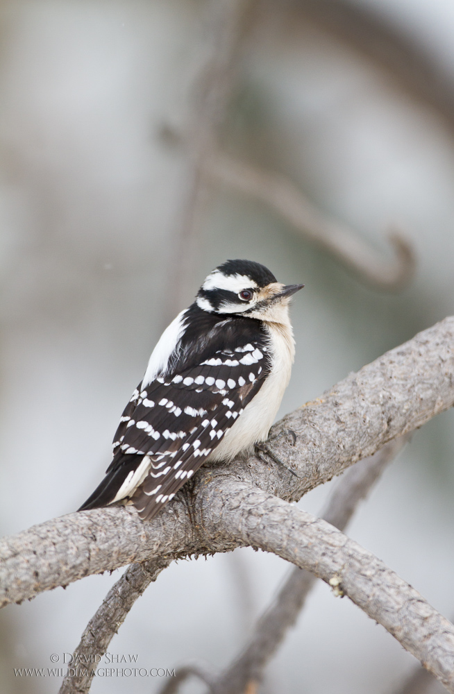A female Downy Woodpecker. This species prefers deciduous trees foraging habitat.