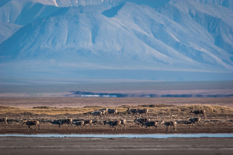Caribou herd at the Canning River Delta, Arctic National Wildlife Refuge.