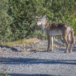 Coyotes: The impacts of a new predator to Alaska