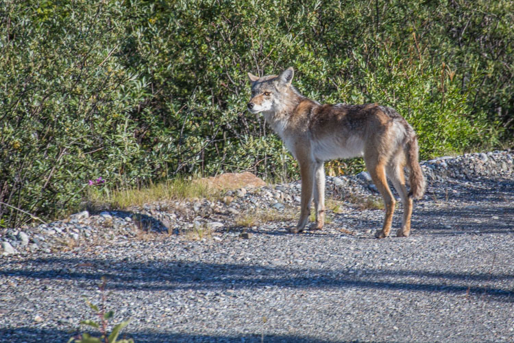A Coyote along the Alaska Highway in the Yukon Territory. (Somehow, this is my only photo of a coyote).
