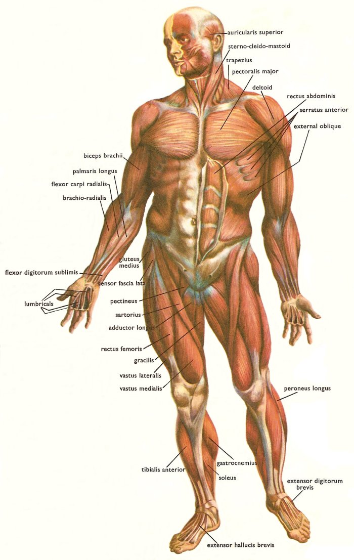 skeletal muscles and muscle groups