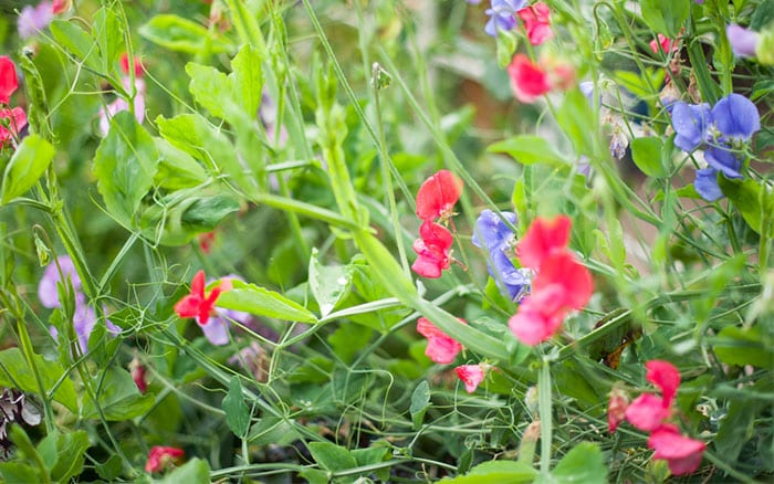 How To Grow Sweet Peas: Sowing And Growing Instructions