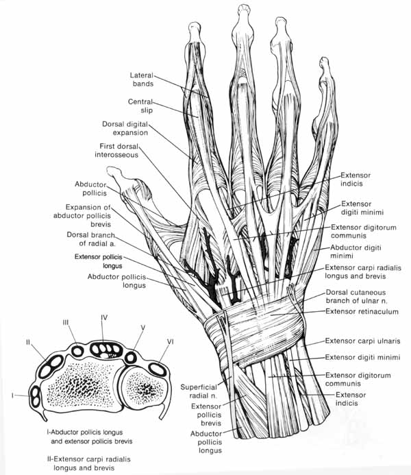 tendons in arm diagram