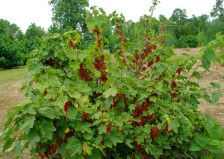$25 VALUE - 3 currant plants (currant berries have a sweet and spiced flavor) from Abundant Enterprises