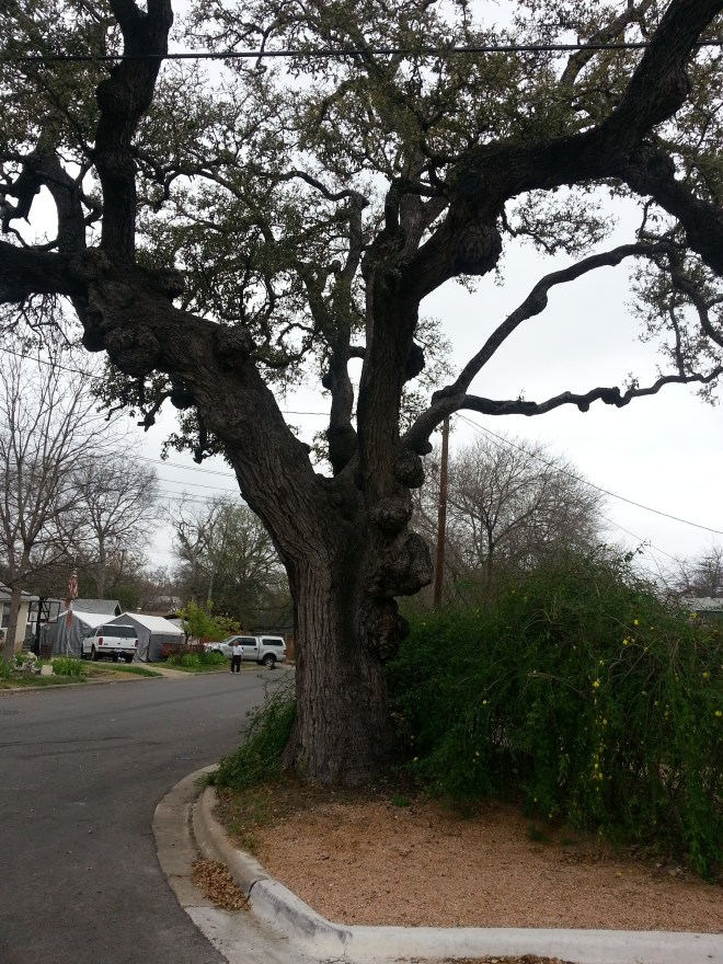 Knotted live oak tree at Euclid and Forest