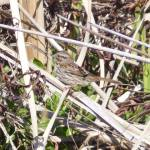 Alpine Pond Song Sparrow