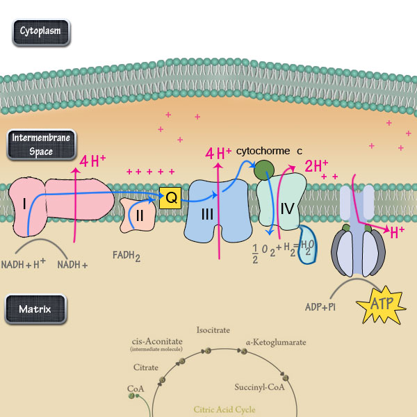 The Electron Transport Chain Steps Simplified \u2013 DBriers