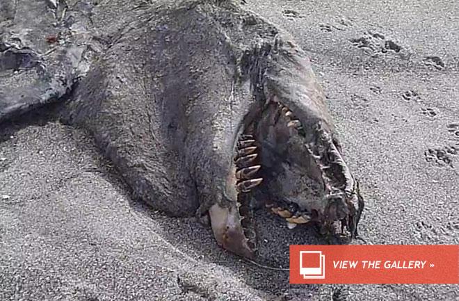 New Zealand Sea Monster Identified as An Orca Carcass