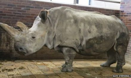 Northern white rhino:  Only Four Remain (PHOTO)