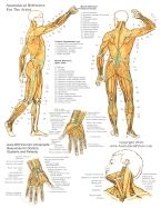 Muscles Of The Human Body Anatomy Chart