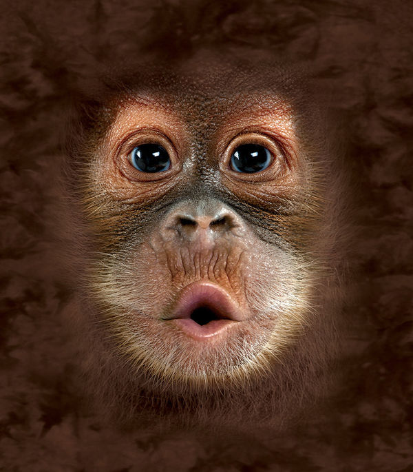 So Cute Baby Girl Wallpaper Orangutan By The Mountain Decalgirl