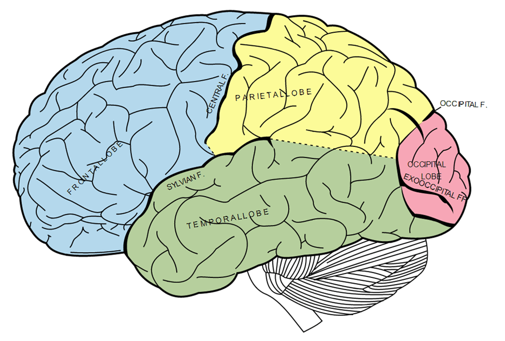 Brain (Gray\'s Anatomy) - Decoding Delicious