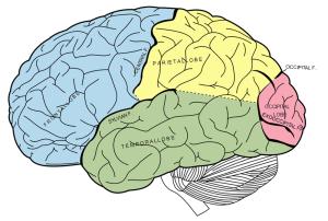 Source: Gray's Anatomy, Wikimedia Commons, Feb 2011