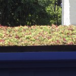 Those are Plants, not Weeds on my Roof