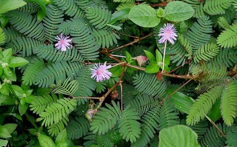 lajwanti plant