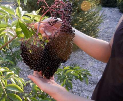 It's Elderberry Time ~ Making Cough Syrup and Tincture, DIY, elderberries, Cough Syrup, Tinctures, Johns, York, varieties, homemade remedy, Sambucus canadensis, fruit, herbal remedy, medicine chest, edible landscape, plant, health benefits, antioxidant activity, lower cholesterol, improve vision, boost the immune system, improve heart health, coughs, colds, flu, antibacterial, antiviral, infections, homemade, directions, ingredients, Pliny the elder, Hippocrates, herbal medicine, huge American elderberry fruit, black, harvesting