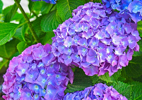 Desktop Wallpaper Fall Foliage Hydrangea Macrophylla Merritt S Supreme De Groot Inc