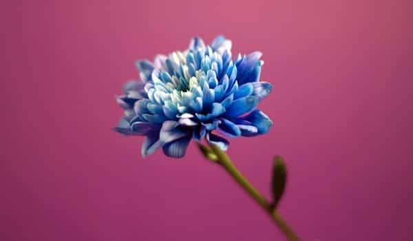 Blue_Dahlia_Flower