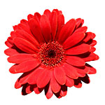 kruisbr_flower150