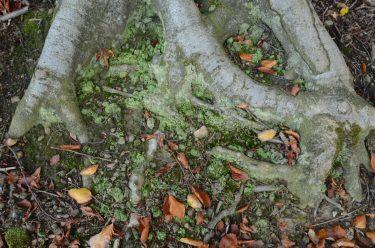 Flechtenteppich zwischen Buchenwurzeln (Lainzer Tiergarten Wien, Oktober 2017)