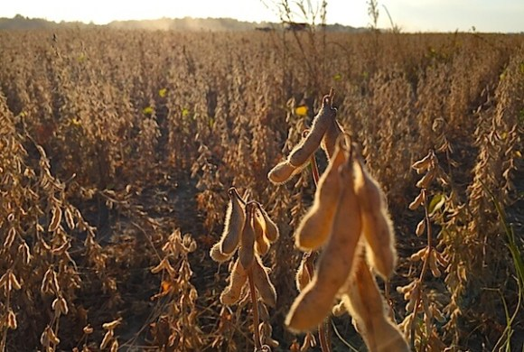 Soybean field in the Mississippi Delta