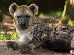 Gevlekte hyena - Foto: Dierenpark Amersfoort