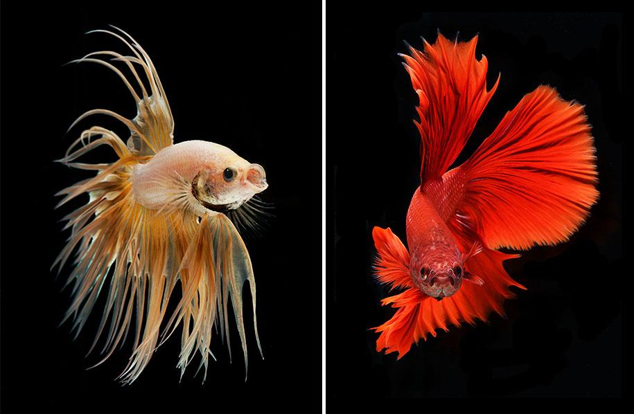 Cross Wallpaper Iphone 6 Hypnotizing Portraits Of Siamese Fighting Fish By Visarute