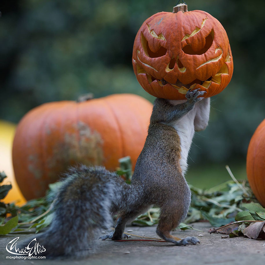 Fall White Pumpkins Wallpaper Squirrel Becomes A Halloween Monster As It Tries To Steal
