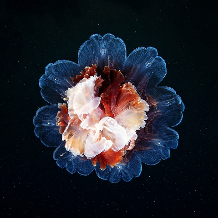 Unseen Girl Wallpaper Mesmerizing Jellyfish Photography By Alexander Semenov