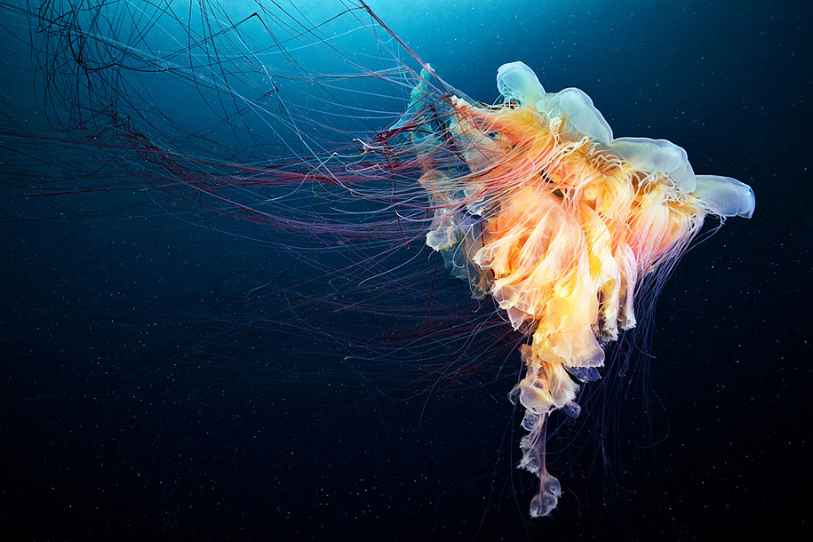 Beautiful Girl Wallpaper For Fb Mesmerizing Jellyfish Photography By Alexander Semenov