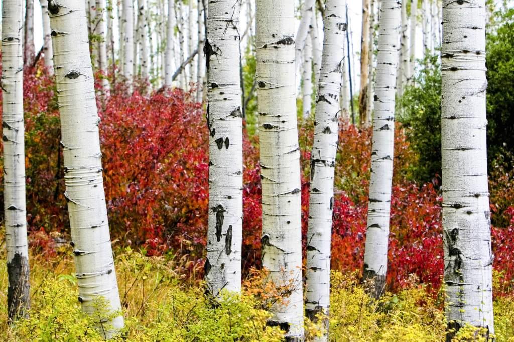 Aspens in Denver this week September 9th - 15th, 2016
