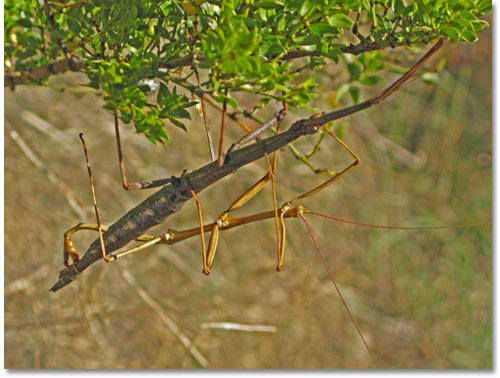 Walking Stick insect - DesertUSA