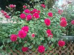 Rose Bushes To Plant With Flowers