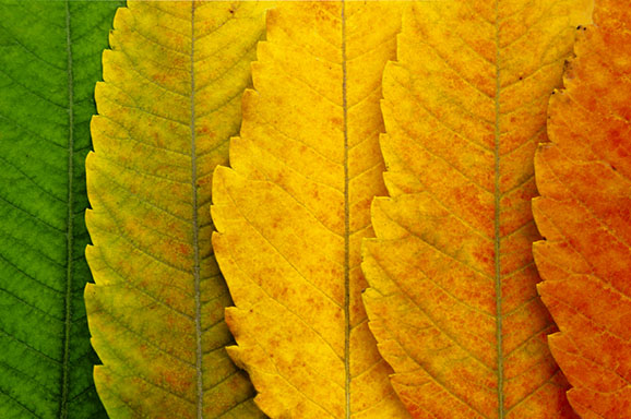 A close up of autumn leaves