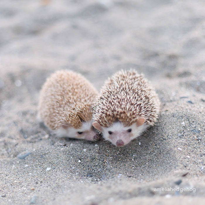 Cute Sushi Wallpaper A Day In The Life Of Amelia The Hedgehog Best Of The Web