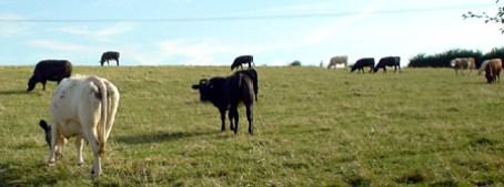 malmesbury cows