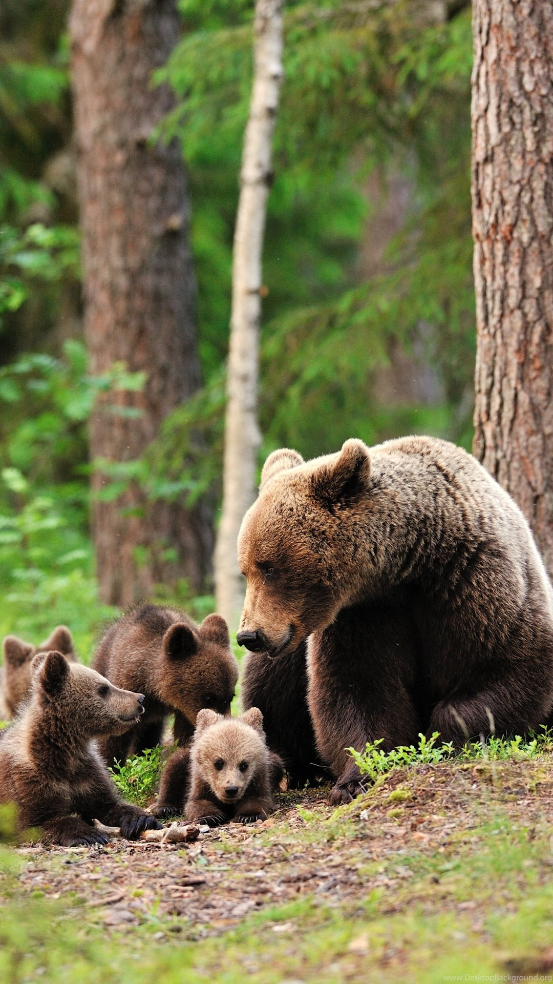 Mobile Wallpaper Cute Baby Bear Bears Forest Trees Baby Cub Cubs Mother Family Cute