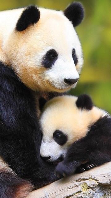 Cute Panda Iphone Wallpapers Baby Panda Wallpapers Wallpaper Desktop Background