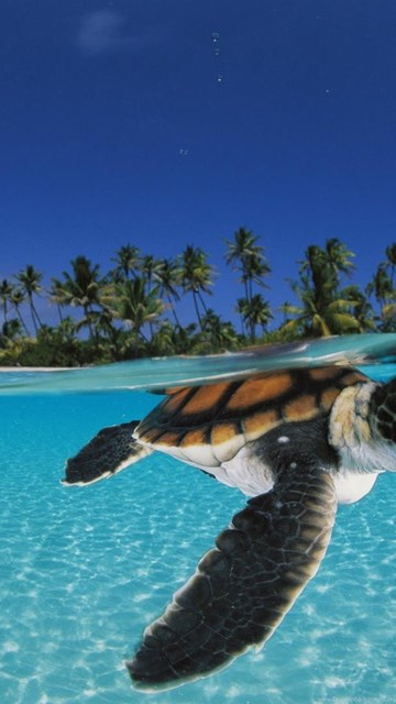 I Want To Download Cute Wallpapers Baby Sea Turtles Swimming Desktop Background