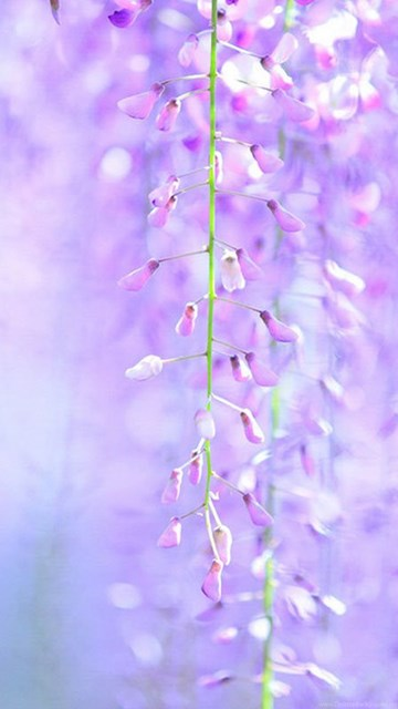 Hd Wallpapers For Mobile Free Download 480x800 Wisteria Hd Wallpapers 8 - Flower Wallpapers Free Download