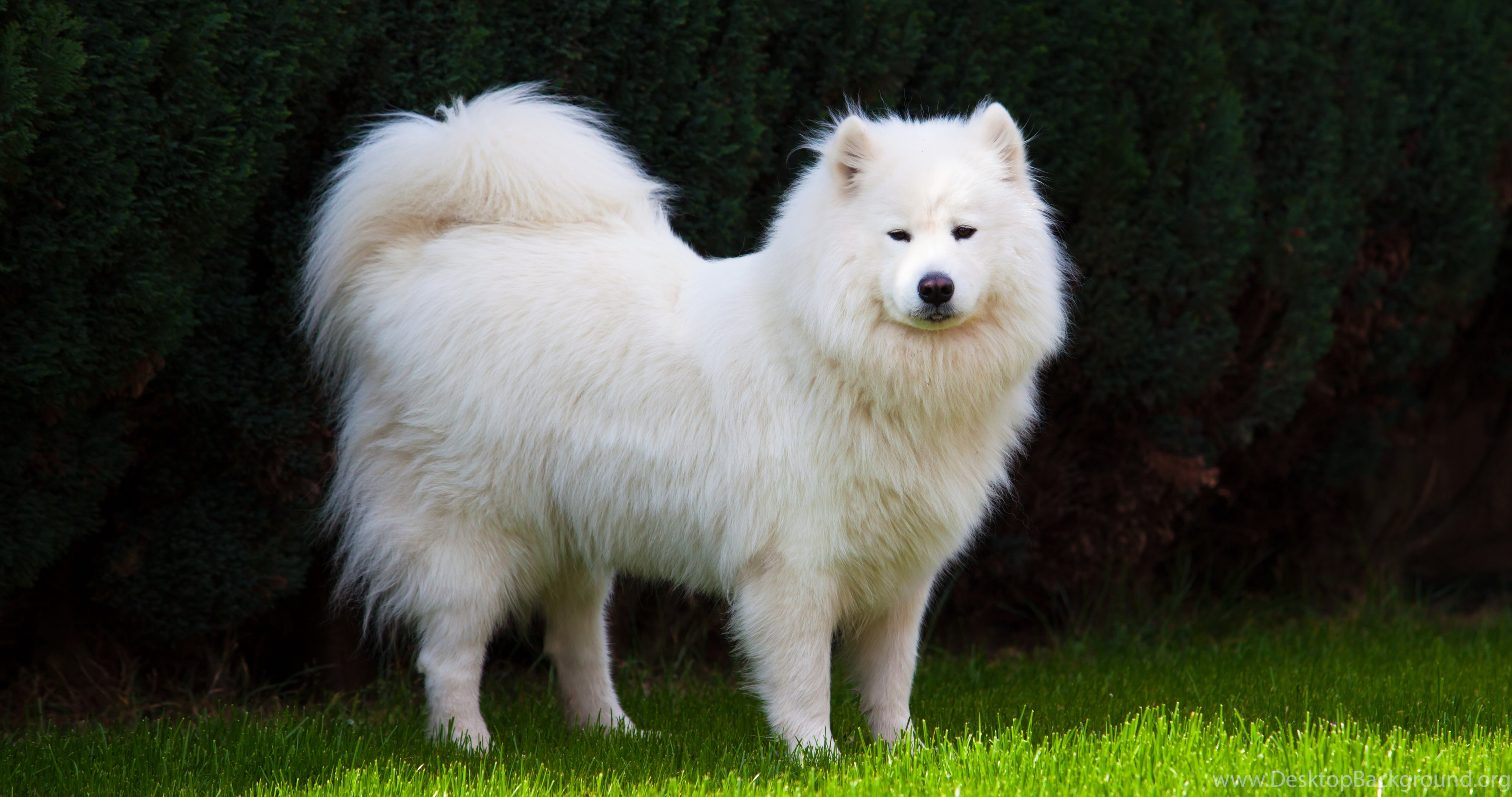Iphone 7 Plus Wallpaper Size Samoyed Dog Dogs Canine Wallpapers Desktop Background