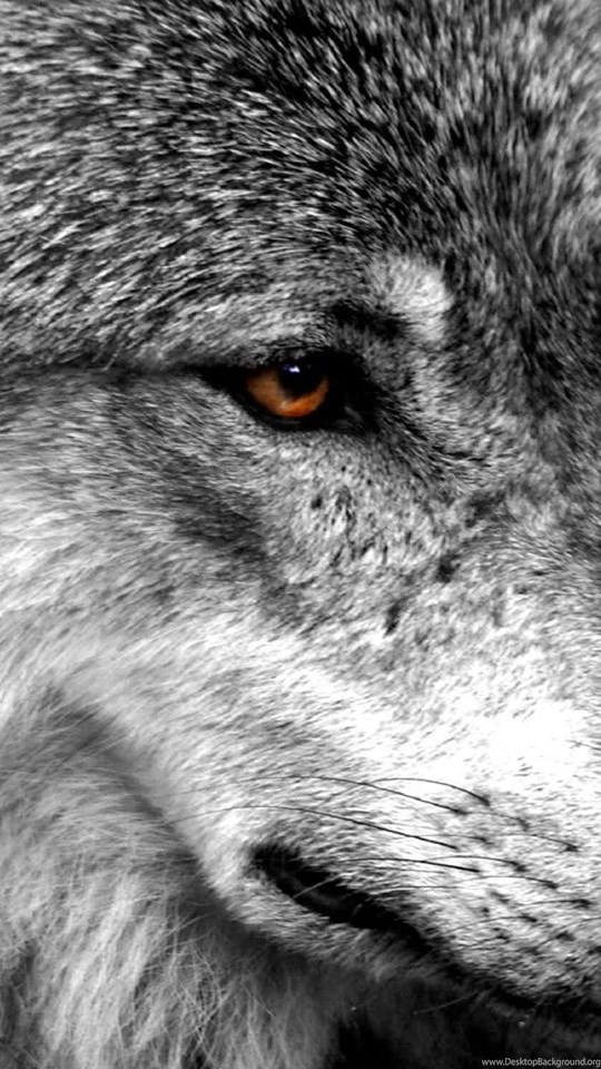 Iphone 4s Hd Wallpapers 1080p Fondos De Pantalla Lobo Todos Los Wallpapers Lobo
