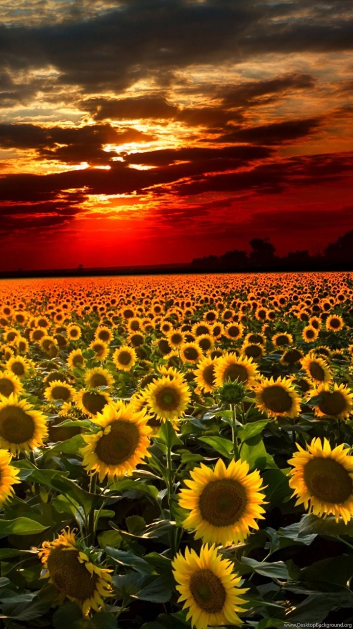 Dual Screen Wallpaper Fall Beautiful Sunflower Wallpapers Image Desktop Background