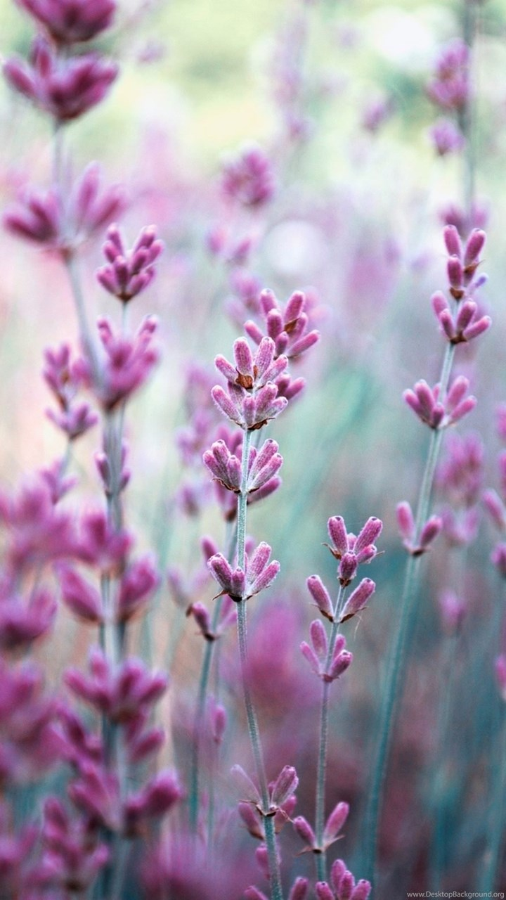 Ipod Touch 5 Wallpaper Hd Lavender Purple Flowers Wallpapers Hd Of Lavender Field