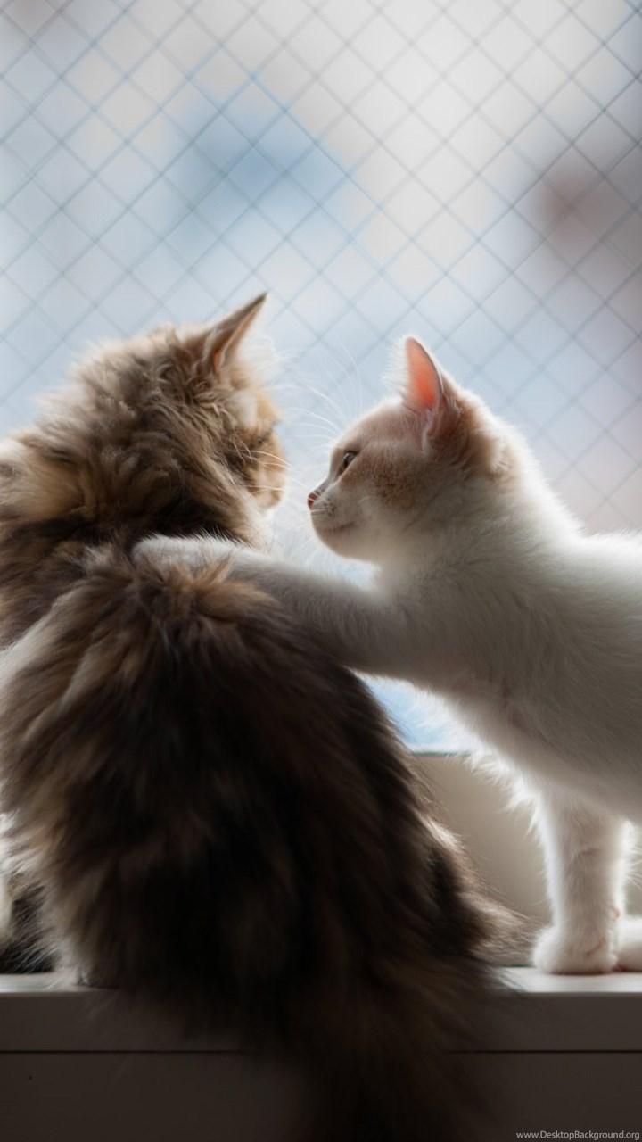 Iphone 5c Original Wallpaper Cute Kittens Fluffy Pair Cats Animal Love Photo Hd